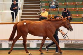 Lot  11 T G B0563 Tattersalls