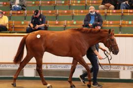 Lot  11 T G B0567 Tattersalls
