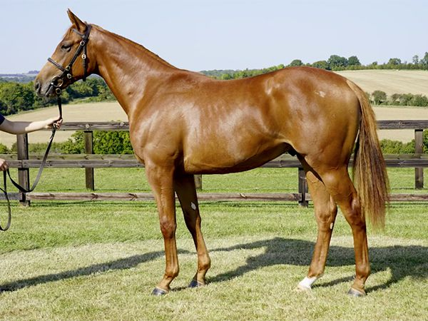 IMPLORE pictured prior to selling at Book 1 of the Tattersalls October Yearling Sale