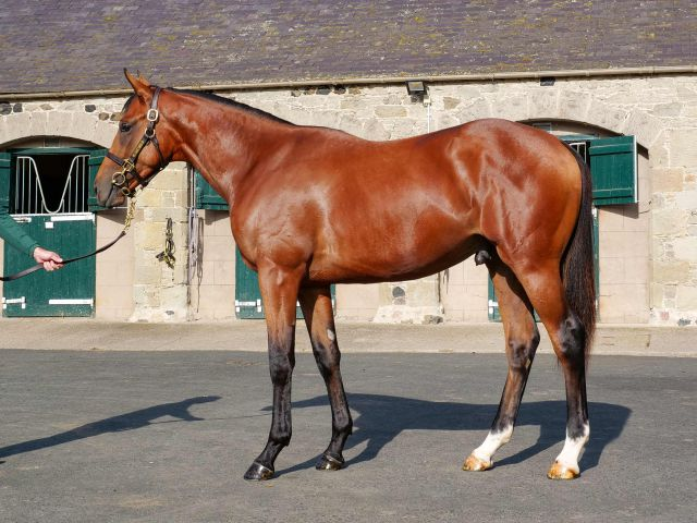 Hatif as a yearling before selling at Tattersalls October Book 1