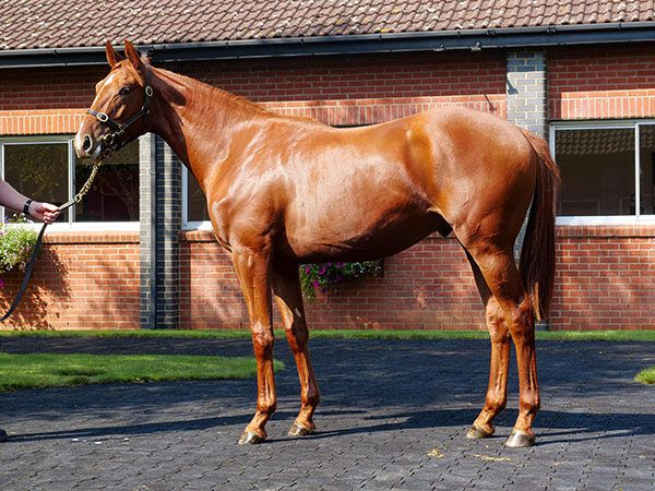 Abbado as a yearling prior to Book 1 of the Tattersalls October Yearling Sale