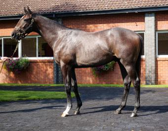 Berkshire Shadow at Book 1 of the Tattersalls October Yearling Sale