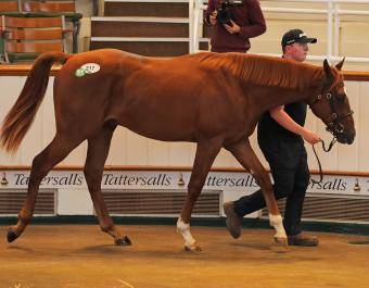 Lot 217 from Castlehyde Stud sold to Global Equine Group for £130,000