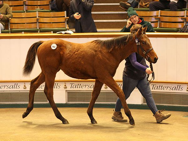 Lot 965: Dubawi (IRE) / Snowgal (IRE)