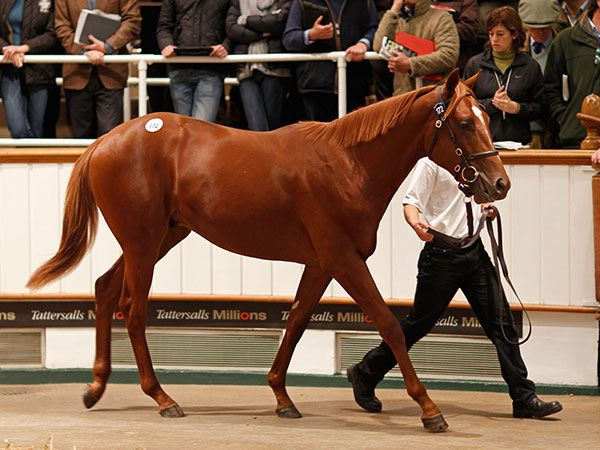 AUSTRALIA selling as a yearling at Tattersalls