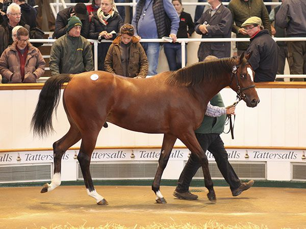 Rostropovich Selling at Book 1 of the October Yearling Sale